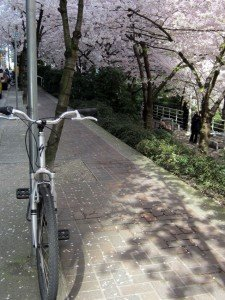 Bikes and blossoms 1 average joe cyclist