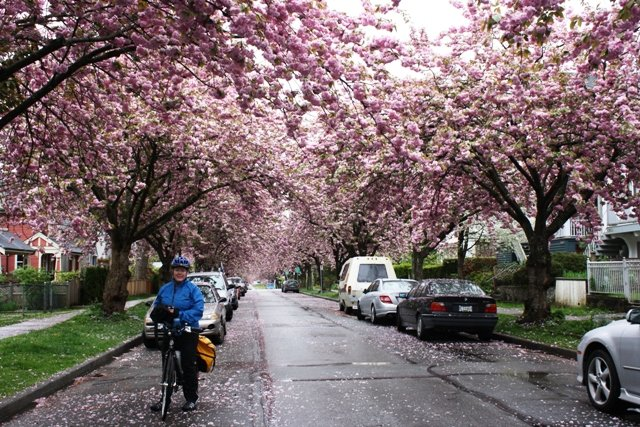 Bike the Blossoms Bike Ride in Vancouver - Average Joe Cyclist